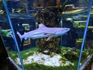 В Природонаучния музей: Акулата Лари се мести в по-голям аквариум